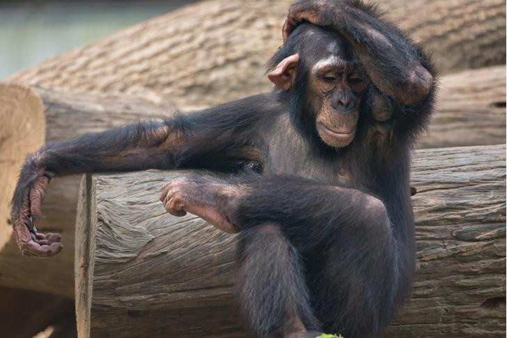 Фото №1 - Могут ли люди понять эмоции шимпанзе?
