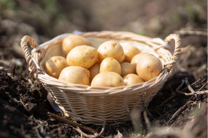 Фото №1 - Картошка оказалась полезным гарниром