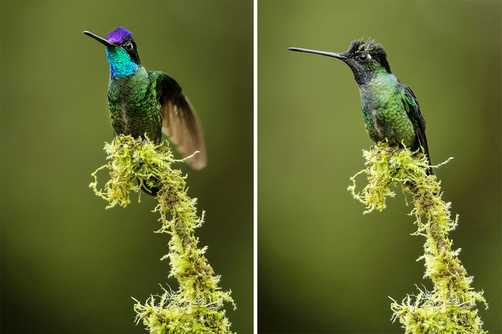 Alamy / Legion-Media (х2)Так при различных ракурсах меняется цвет колибри-герцога. Наснимке видны переливы перьев нашее иголове птицы