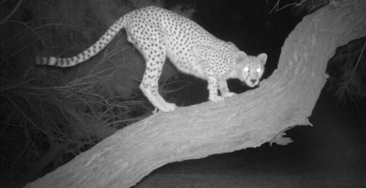 Фото №2 - Ученые получили редчайшие фотографии сахарского гепарда