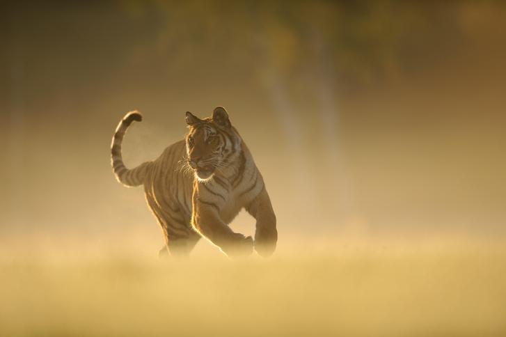 Фото №3 - Полосатый охотник: как выживает одна из самых редких кошек России и мира