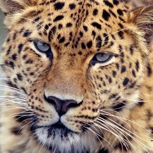 Фото №1 - Дальневосточных леопардов пересчитали