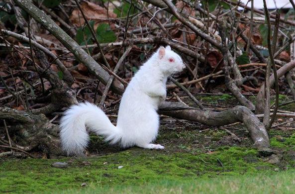 Фото №1 - В Шотландии сфотографировали белку-альбиноса