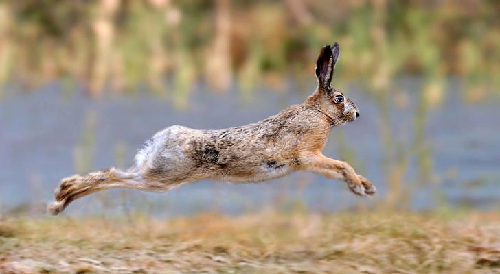 Фото №1 - Скрещиваются ли заяц и кролик?