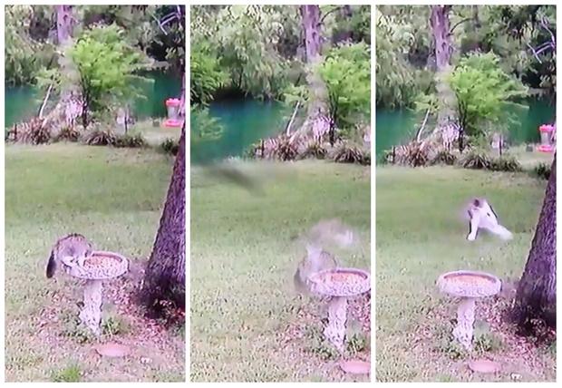 Фото №1 - Кот ел из птичьей кормушки, как вдруг налетевшая птица сорвала ему обед (видео)