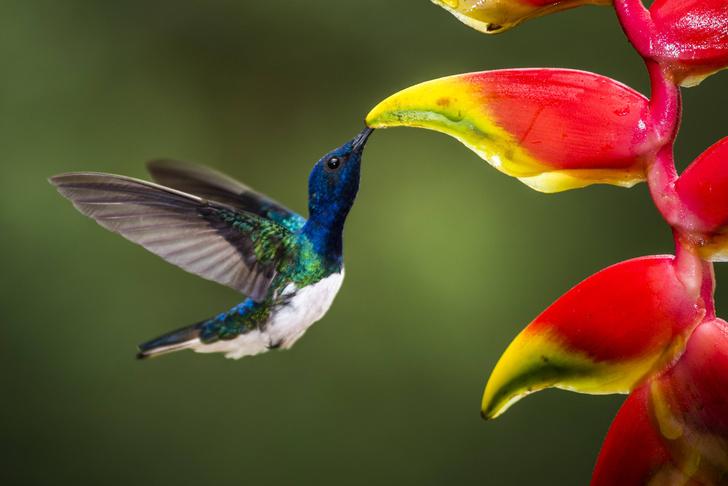 Фото №1 - Орнитологи обнаружили, что самки колибри «маскируются» под самцов, чтобы избежать притеснений