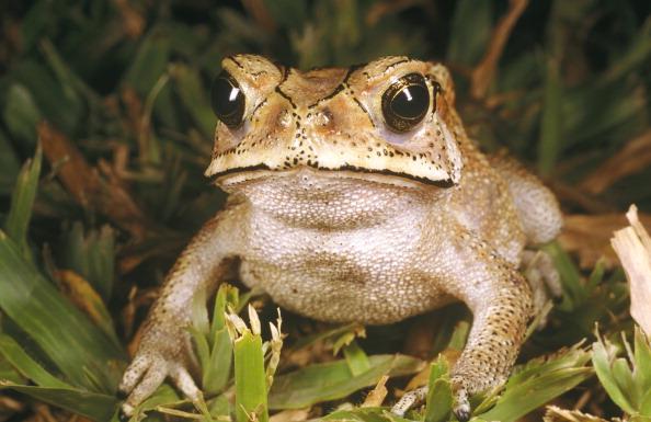 Фото №1 - Ядовитые жабы угрожают Мадагаскару