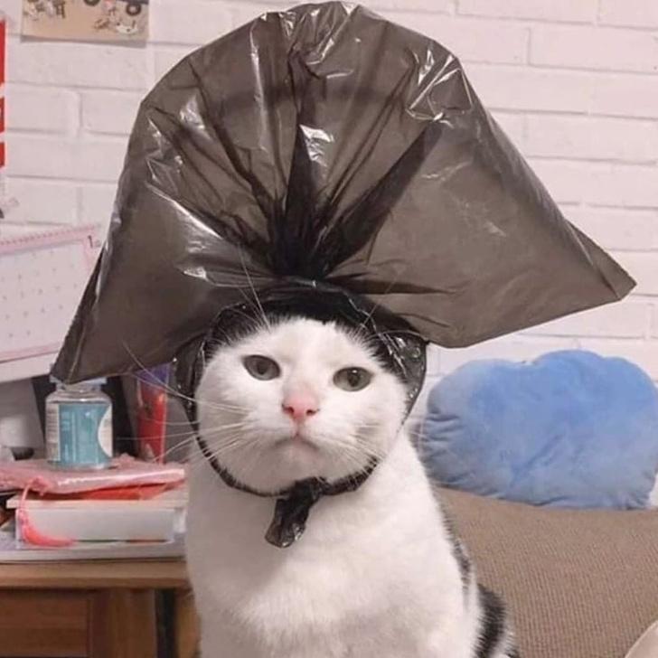 Фото №2 - Лучшие фотожабы на кота в комичной шляпе из пакета