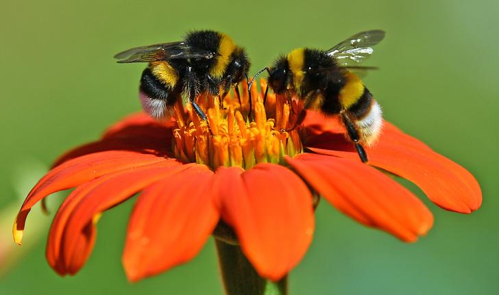 Фото №1 - Шмели распределяют обязанности при сборе нектара