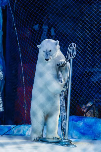 Фото №3 - В Воронеже выступят белые медведи
