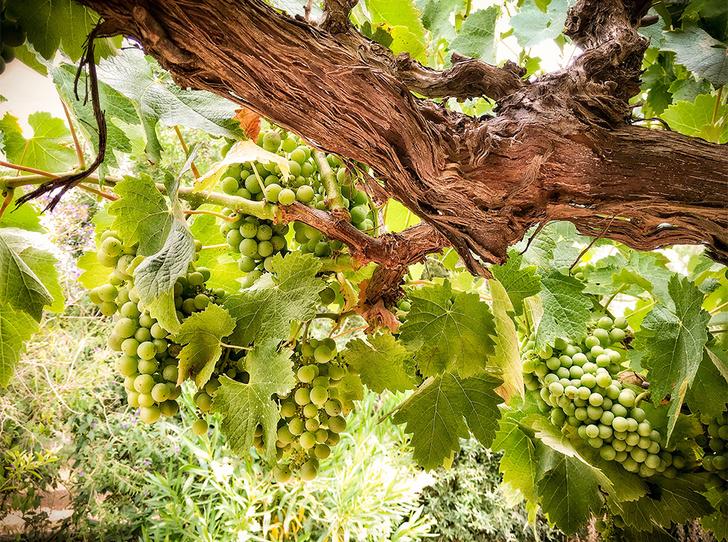 Фото №2 - Зеленое вино: что такое Vinho Verde и почему оно такое редкое (у нас)