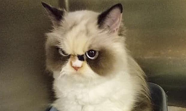Фото №1 - Знакомься: новый Grumpy Cat, кошка по кличке Мяу-Мяу (фото)