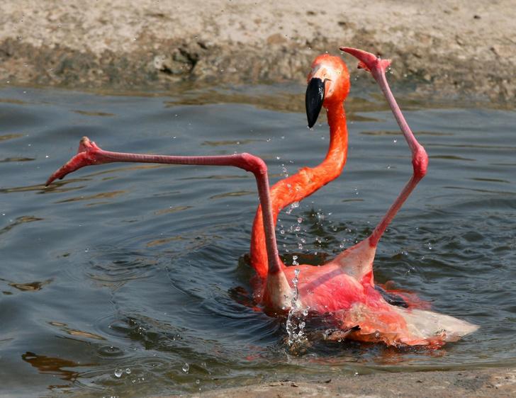 Фото №1 - Танец фламинго