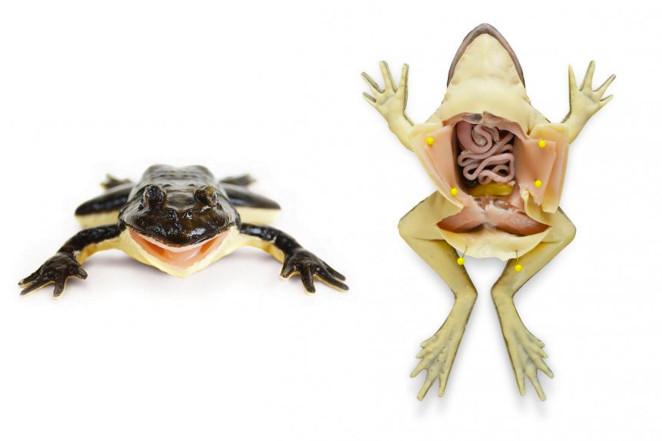 Фото №2 - Флоридские школьники первыми в мире начали препарировать на уроках синтетических лягушек (фото и видео)