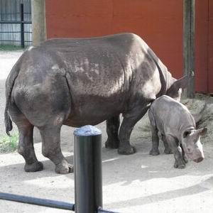 Фото №1 - У черного носорога приняли дочку