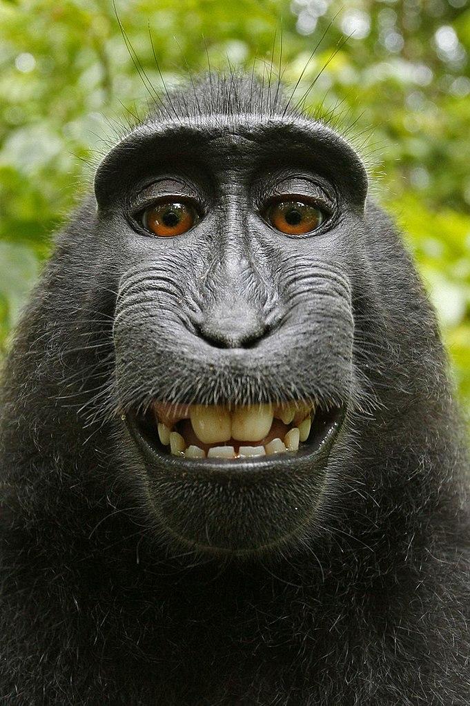 Фото №1 - Фотограф выиграл в суде у сделавшей селфи обезьяны