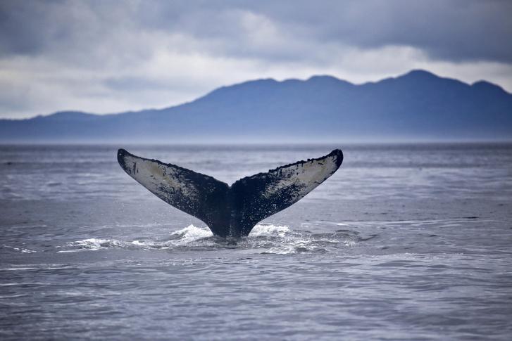 Фото №1 - От синего до «единорога»: 8 китов российских морей