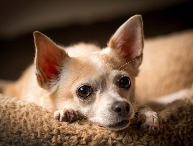 Фото №1 - Холод собачий: 10 пород собак, которые очень мерзнут зимой