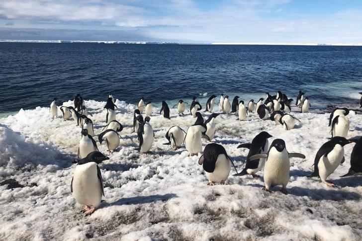 Фото №1 - За колониями пингвинов начали наблюдать с помощью дронов