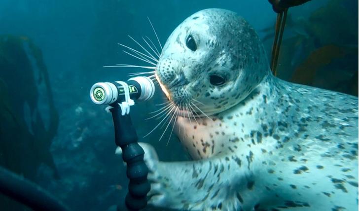 Фото №1 - Любопытный тюлень