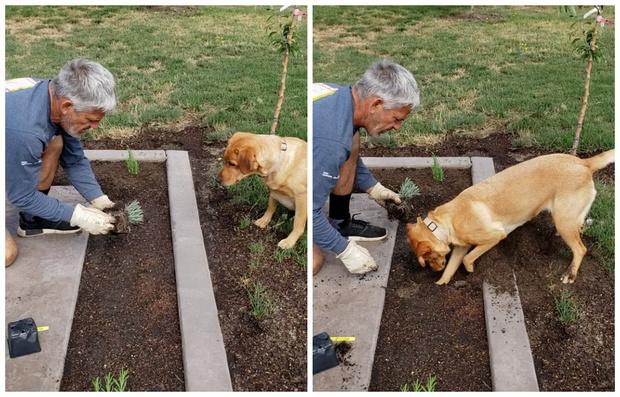 Фото №1 - Собака-копака, помогающая хозяину с рассадой, полюбилась Интернету (видео)