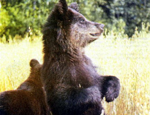 Фото №1 - Из жизни бурого медведя