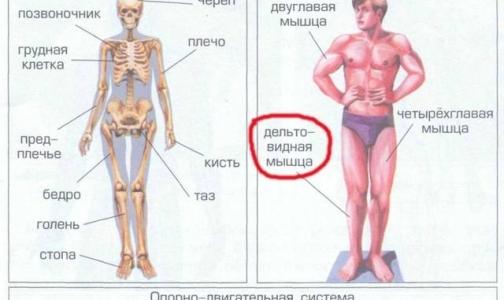 Фото №1 - В школьном учебнике «Окружающий мир» нашли грубые анатомические ошибки