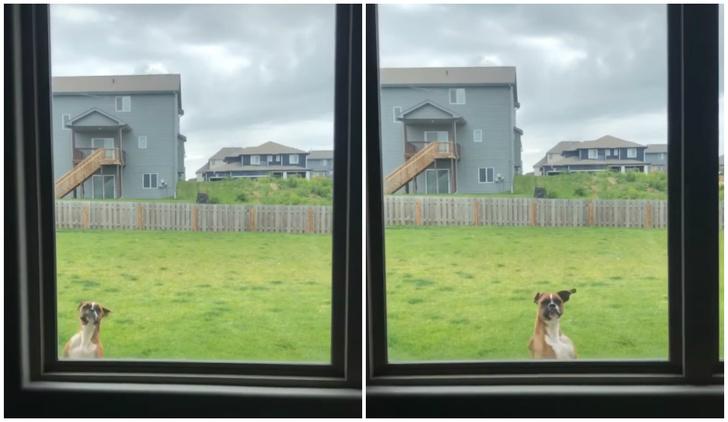 Фото №1 - Собака всеми силами пытается привлечь внимание хозяев, чтобы ее пустили в дом (видео)