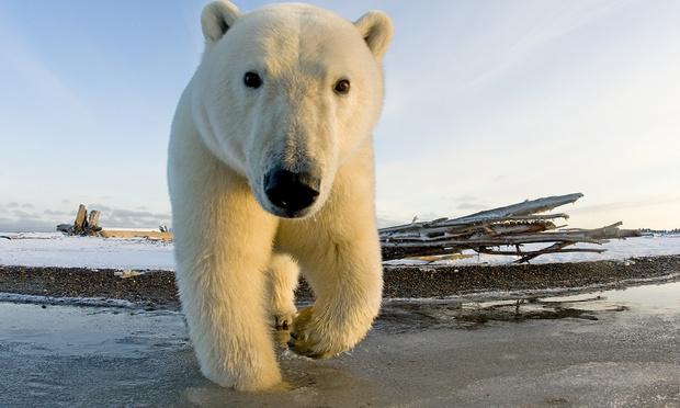 Фото №1 - На Чукотке замечен белый медведь с надписью «Т-34» на боку (видео)