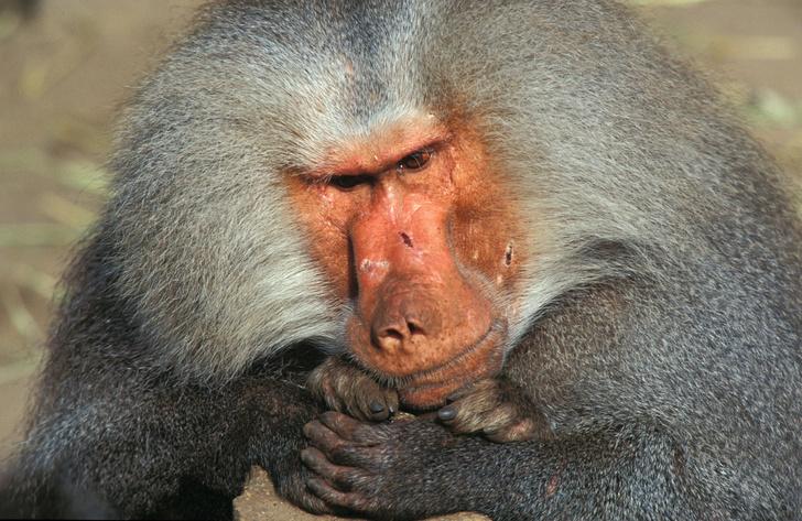 Фото №1 - Бабуины с сердцами свиней прожили несколько месяцев
