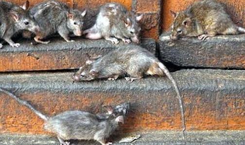 Фото №1 - Если в вашем дворе бегают крысы, жалуйтесь в Роспотребнадзор
