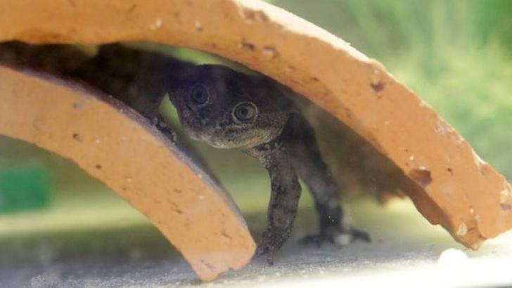 Фото №1 - В Чили добились размножения редчайших в мире лягушек