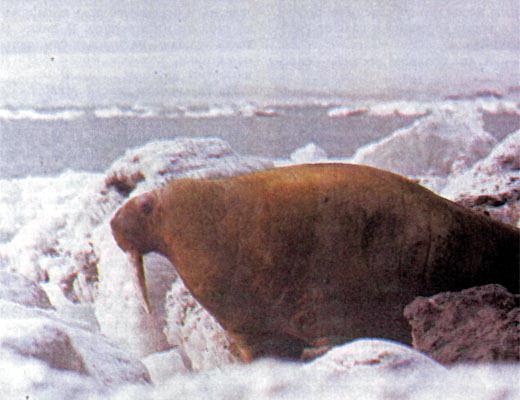 Фото №1 - Рядом с моржами