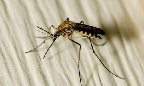Фото №1 - Кого чаще всего кусают комары и как от них спрятаться