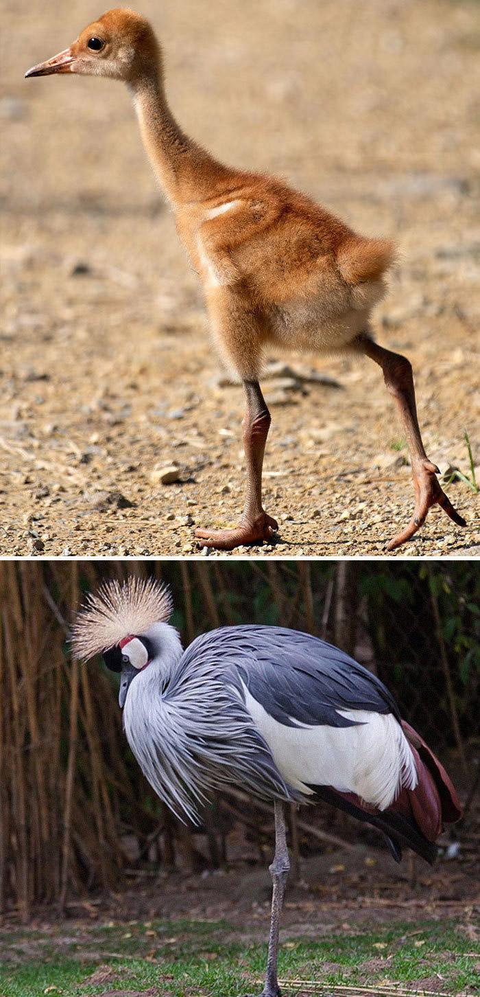 Фото №9 - 30 красивых птиц, которые были уродливыми птенцами (галерея)