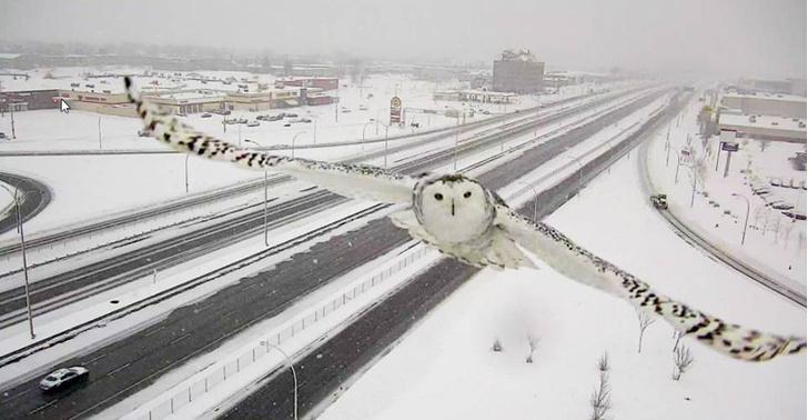 Фото №4 - Автоматическая дорожная камера в Канаде сделала редкие снимки полярной совы