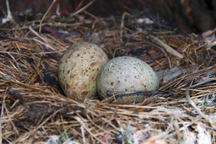 Фото №1 - Еще в яйце птенцы общаются друг с другом