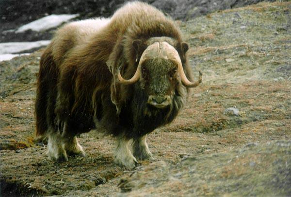 Фото №1 - Современников мамонта сослали на Таймыр
