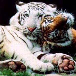 Фото №1 - Тигр упек китайца в тюрьму