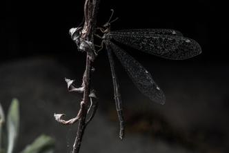 Фото №1 - Как выглядит и где обитает самый беспощадный охотник на муравьев