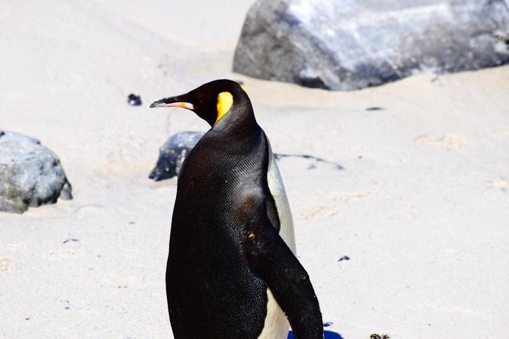 Фото №1 - Королевские пингвины добрались до Африки