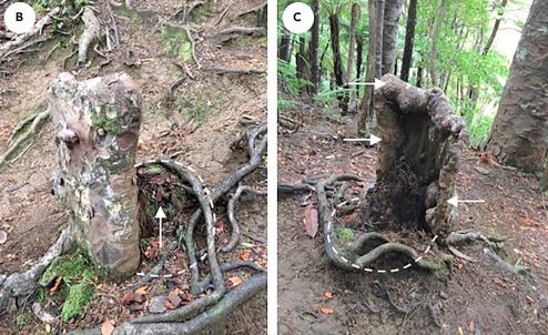 Фото №1 - Ученые нашли в джунглях «живой» пень