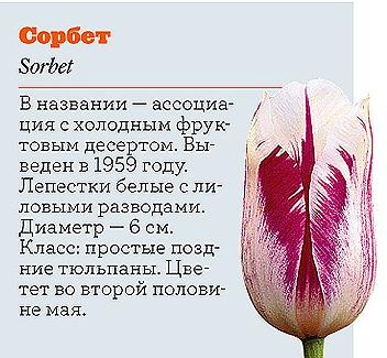 Фото №7 - Самые популярные сорта тюльпанов