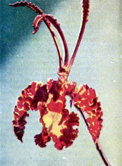 Фото №3 - Итак, что есть орхидея?
