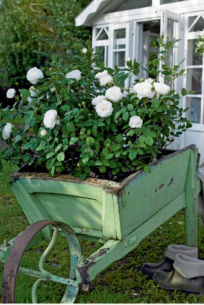Благодаря кусту душистых белых роз, скажем, «Винчестер Кафидрал», старая садовая тачка обернется мобильной клумбой. Но чтобы корни растения не гнили, понадобится система дренажа. Например, дно тачки можно выстлать рулонным материалом. Другой вариант – засыпка из керамзита.