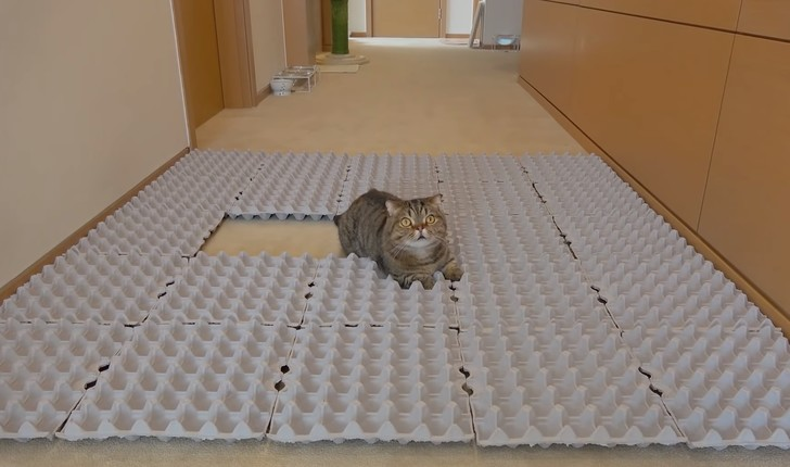 Фото №1 - Как отреагируют коты, если выложить пол картонными лотками из-под яиц (видео)