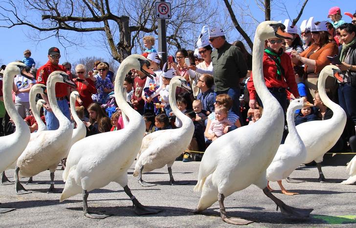Фото №1 - Парад лебедей