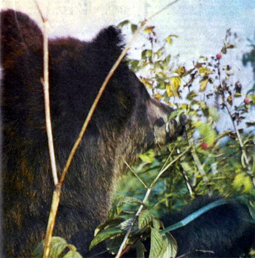 Фото №2 - Из жизни бурого медведя