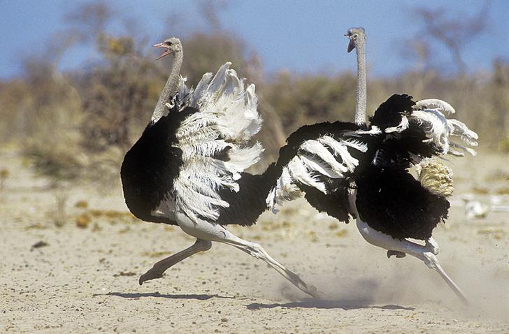 Фото №6 - Бабье царство: Как устроено страусиное общество