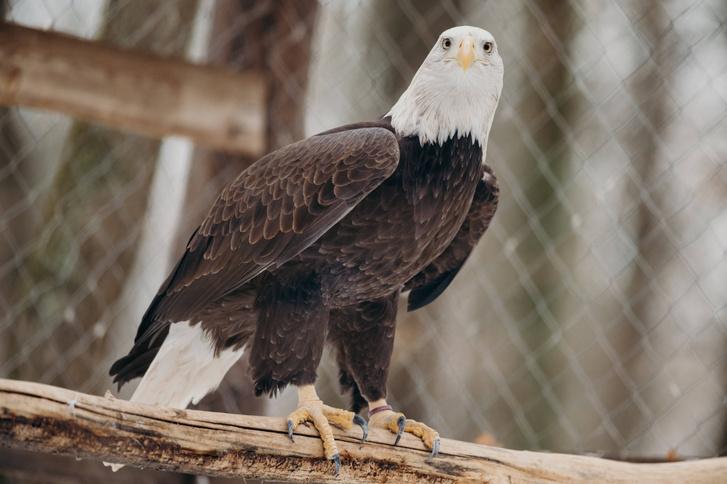 Фото №1 - Найдено объяснение загадочной гибели белоголовых орланов